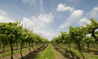 Biddenden Vineyard | Kent