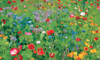 Free #GiveItAGrow Wildflower Seeds