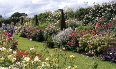 The David Austin Rose Garden | Albrighton, Shropshire