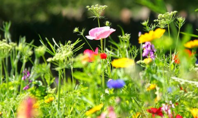Free Bee-Friendly Seeds